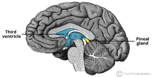 https://teachmeanatomy.info/wp-content/uploads/Anatomical-Position-of-the-Pineal-Gland.jpg